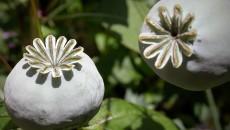 Opium_poppy_mohnkapsel